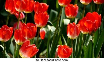 Tulips in full bloom.