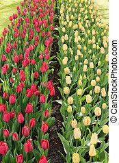 tulips, in, il, keukenhof, park., holland.