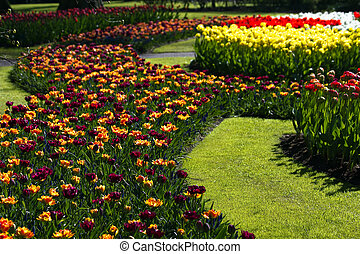 Tulips in many colors in spring