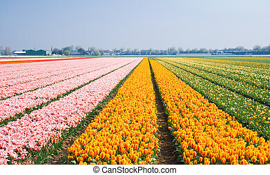 Tulips in many different colors