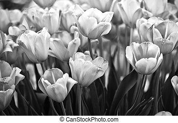 tulips, in, nero bianco