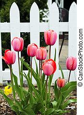 Tulips in spring garden