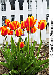 Tulips in spring garden - Bright blooming tulips growing in...