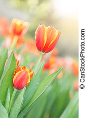 tulips in the flower garden
