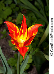 tulips in the garden in detail
