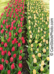 Tulips in the Keukenhof park. Holland.