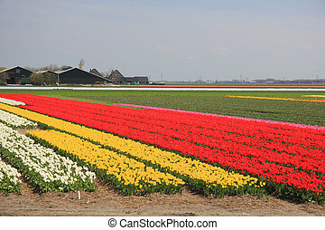 Tulips in various colors on a field