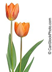Tulips - Isolated tulips