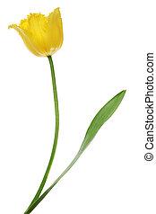 tulips, isolato