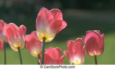 Tulips moving in the wind