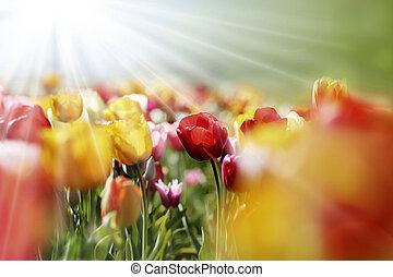 tulips, multicolor, sole