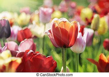 tulips, multicolor, sole, mattina