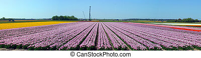 tulips, netherlands., coloridos, campo