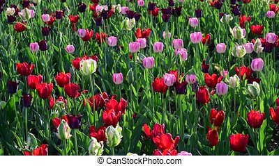 Tulips of different colors and gardens in flowerbed - Tulips...