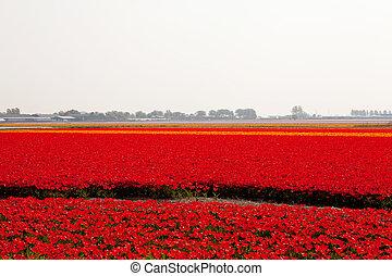 tulips, olandese, rosso, bulbo, campo
