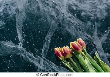 Tulips on Ice.