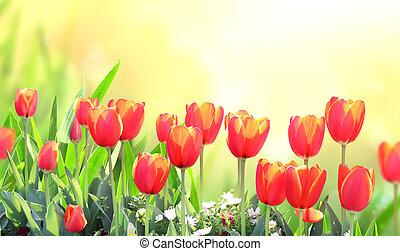 Tulips on sunny beautiful nature spring background