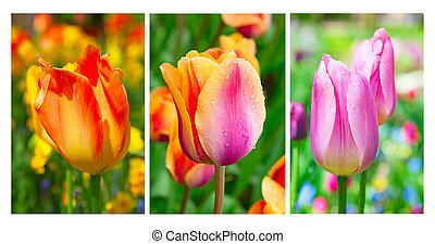 Tulips - Fresh blooming tulips in the spring garden