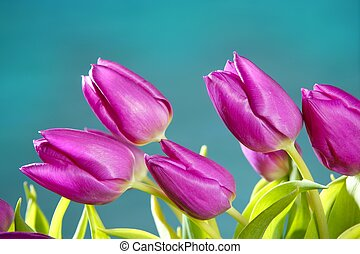 tulips pink flowers blue green studio shot