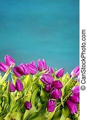 tulips pink flowers blue green studio shot