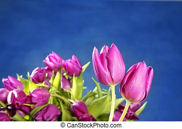 tulips pink flowers on blue studio background