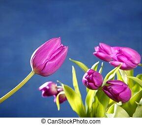 tulips pink flowers on blue studio background
