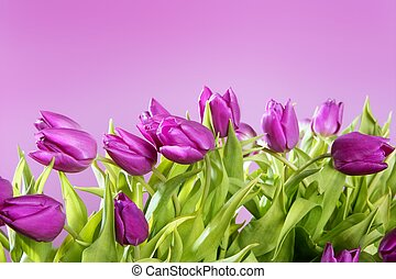 tulips pink flowers pink studio shot background