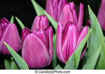 Tulips - Purple Flowers.