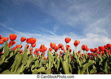 Tulips - red flowers at spring