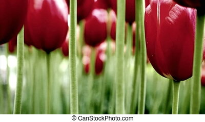 Tulips - Red tulips, Washington, rack focus