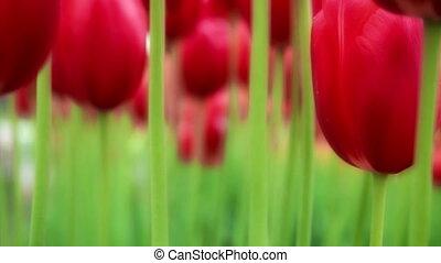 Tulips - Red tulips, Washington