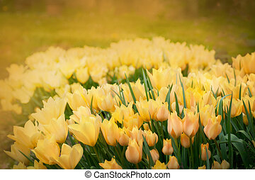 Tulips spring background