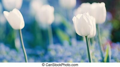 Tulips spring flowers - Spring flowers on a beautiful sunny...