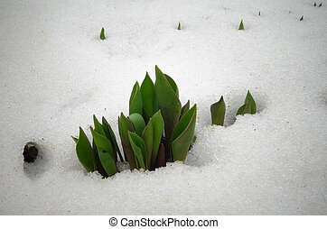 Tulips, spring flowers sprout from under the snow