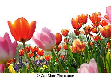 tulips, su, uno, sfondo bianco