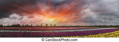 Tulips, summer