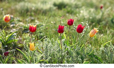 Tulips swaying in the wind - Multi-colored tulips swaying in...