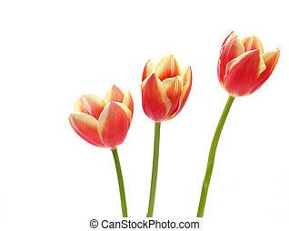 tulips - tulipa gesneriana - three spring tulips - ...