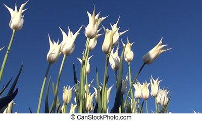 Tulips (Tulipa velvet moon) in a field in the Netherlands