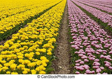 Tulips in the Noord-Oostpolder in Holland landscape