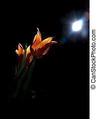 Tulips under moon - Orange tulips illuminated by moon light...