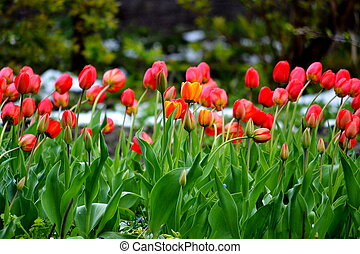 Tulips under snow
