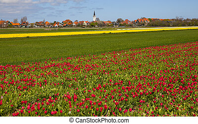 tulips with a typical dutch church in the back