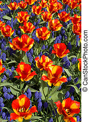 Tulips with jagged petals in the garden. - Red-yellow tulips...