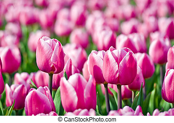 Tulips with selected focus