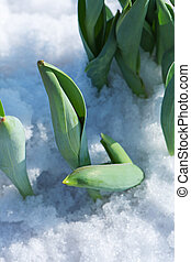 Tulips young sprouts growing in snow