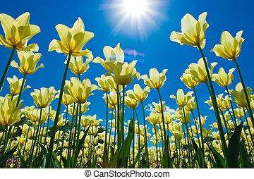 tulp, bloemen