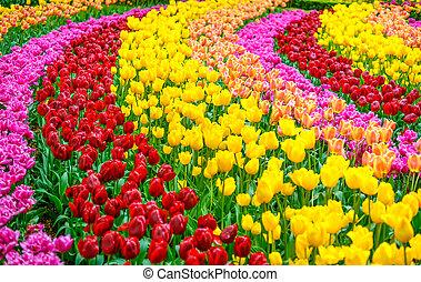 tulp, bloemen, tuin, in, lente, achtergrond, of, model
