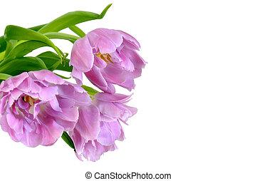 tulp, viooltje