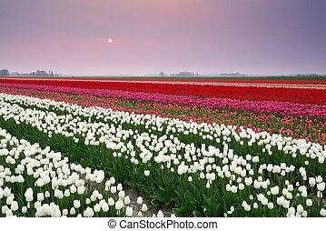 tulpan,  över, solnedgång, färgrik, fält
